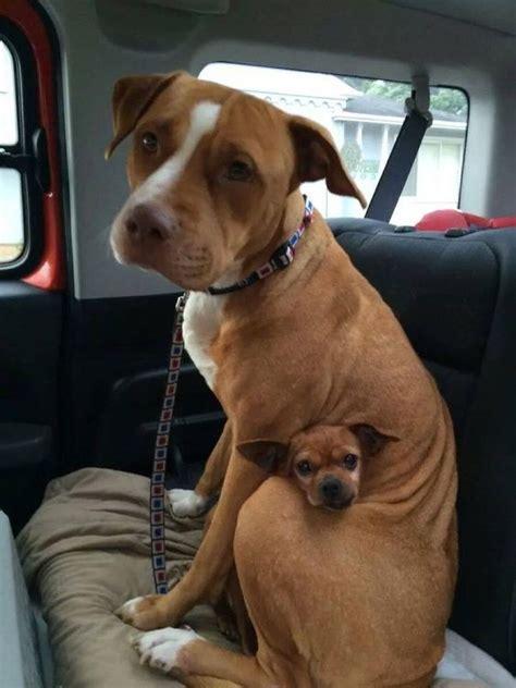 puppy   big dogs body luvbat