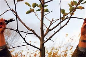 Comment Tailler Un Abricotier : taille des arbres fruitiers pommier poirier cerisier ~ Melissatoandfro.com Idées de Décoration
