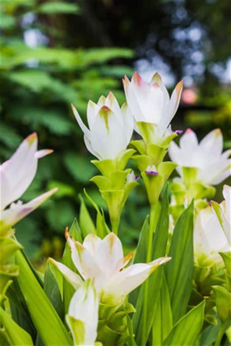 curcuma pflanze pflege safranwurz gelbwurz curcuma alismatifolia pflege anleitung