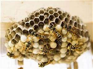 Feldwespen Nest Entfernen : wespennest entfernen so gelingts ~ Frokenaadalensverden.com Haus und Dekorationen