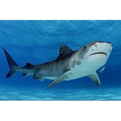 Fourteenth bite in Hawaii - Tracking Sharks