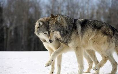 Wolf Wolves Winter Snow Forest Dog Wallpapers