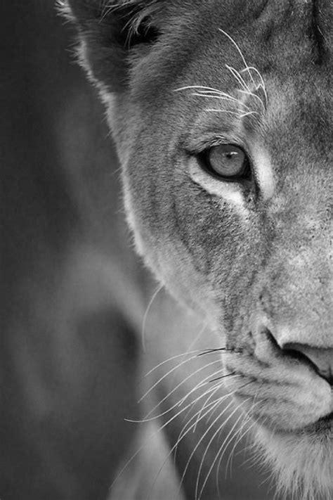 Lioness Beautiful Animal Tattoos Pinterest