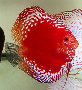 17 Best images about Discus gallery on Pinterest ...