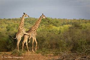 A pain in the neck for giraffes - Africa Geographic