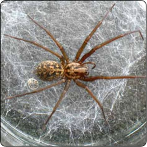 house spider oregon spiders commonly found in houses susan masta portland