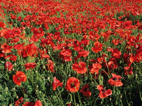 poppy flower garden add colorful poppies to your garden hgtv