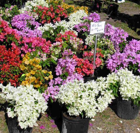 bougainvillea colors anisti ibuno flowers bougainvillea colors