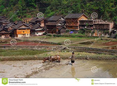 rural china horse pulling  plow  rice field editorial