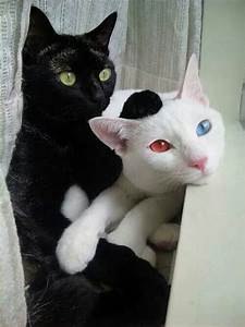 black cat, cats, color eyes, cute, friends, white cat ...