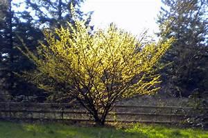 Hamamelis x intermedia Witch hazel tree Arnolds Promise ...