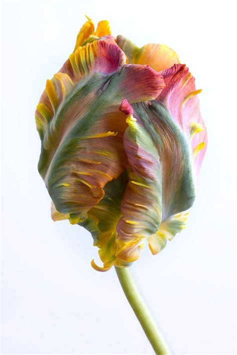 parrot tulip snap photograph flower photography tulip and still life on pinterest