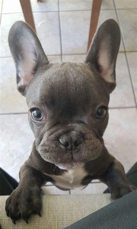 bulldog calm courageous  friendly babyhunde