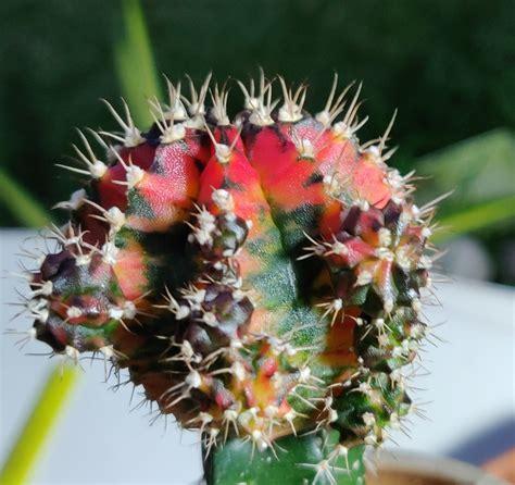 ขายต้นไม้ ยิมโนแคคตัส Gymnocactus โดยร้าน Indy cactus รหัส ...