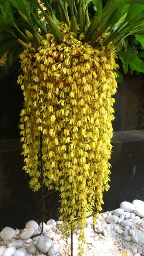 orchidcraze maha orchid show