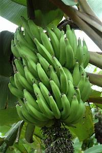 Understanding Banana Domestication  A Crucial Step Towards