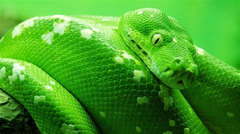 cool hd green snake wallpaper  cool hd wallpapers