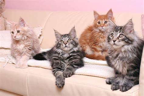 maine coon cat cat breeds encyclopedia