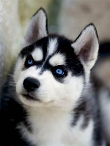 Sad Puppy Dog Eyes Husky