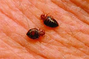 do carpet beetles bite dogs