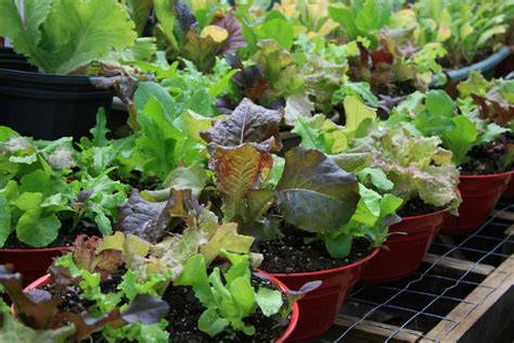container gardening  vegetable production