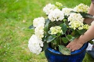 Hortensie Umpflanzen Im Topf : hortensien pflanzen pflegen schneiden und mehr ~ Orissabook.com Haus und Dekorationen