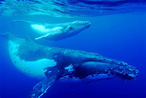 Best Hd Whale Photo by Humpback Whale Best Wallpaper 18811 Baltana
