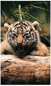Baby animals cute tigers 4k wallpaper   HD Wallpapers , HD ...