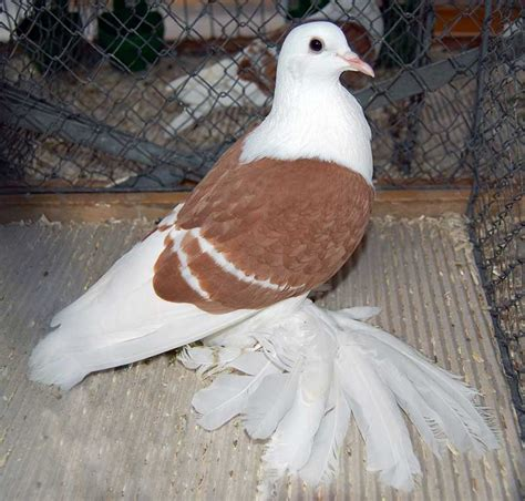 brown and white pigeon pigeon talk
