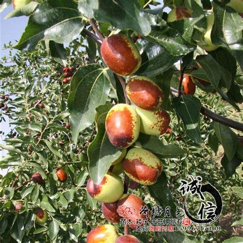 2017 Wholesale Grafted Fruit Tree Seedlings Planted In