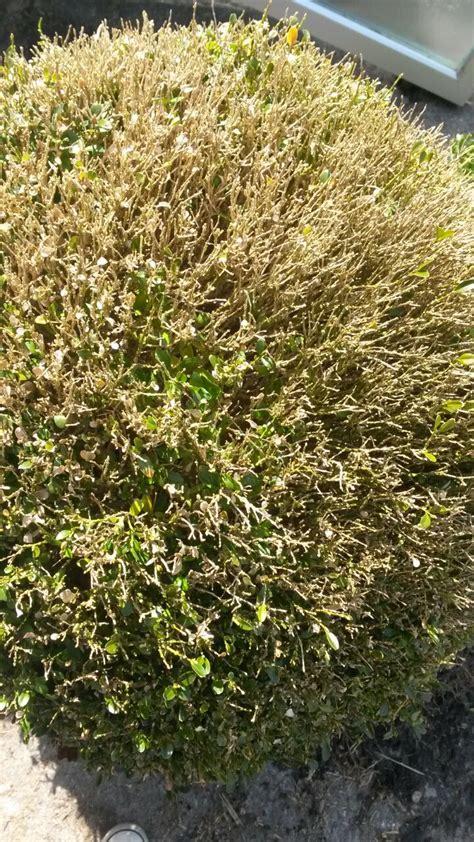 Im Buchsbaum Bekämpfen by Sos Buchsbaum Kugeln Sind Krank K 246 Nnen Sie Helfen