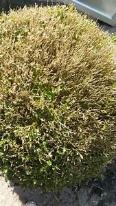 Buchsbaum Befall Raupen : sos buchsbaum kugeln sind krank k nnen sie helfen fragen bilder pflanz und ~ Watch28wear.com Haus und Dekorationen