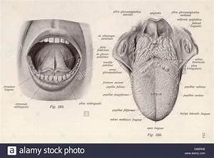 Mouth Anatomy Under Tongue