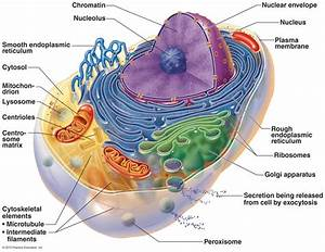 Anatomy of Human Cell Diagrams | Diagram Site