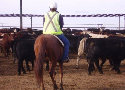 trials  evaluate automated detection  brd  feedlot