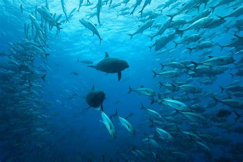 diving bajo alcyone divesite cocos island