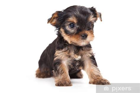 fototapete yorkshire terrier welpen auf weissem pixers