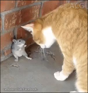 cat fight gif find share  giphy