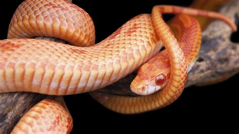 The Reptiles: Snakes   About   Nature   PBS