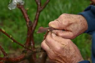 Grafting Cherry Trees