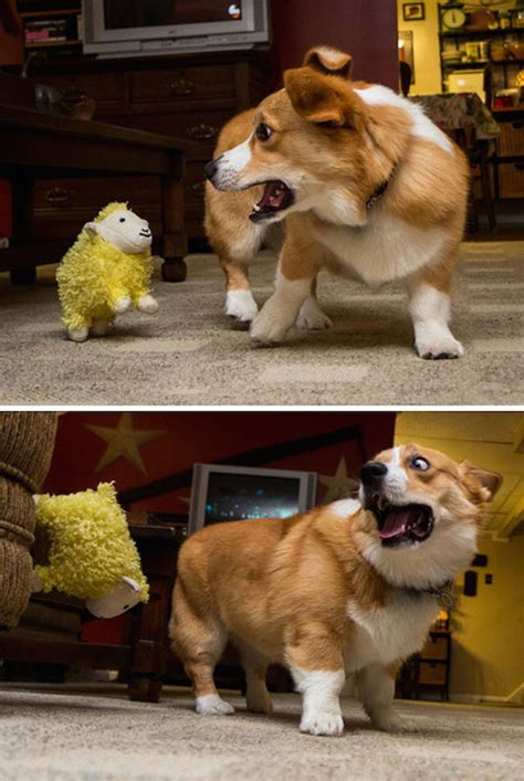 dogs scared funny things cats corgi animals animal afraid funniest scaredy funnier stuffed getting sheep proof than