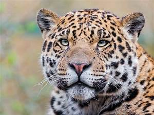 Jaguar Nice : nice image of jaguar photo of predator face ~ Gottalentnigeria.com Avis de Voitures