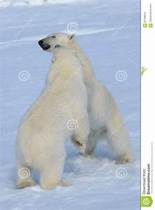 Two Polar Bear Cubs Playing Together On The Ice Stock ...