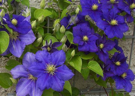 Kletterpflanzen Mit Blüten by Clematis Sorte Genaral Sikorski Waldrebe Blau