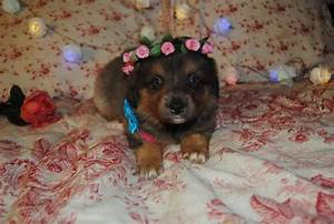 Light Sheltie Shamrock Rose Aussies Welcome To Shamrock Rose Aussies
