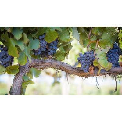 Wine Country Grape Harvest Begins « CBS San Francisco
