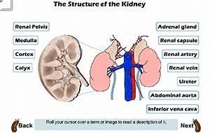 Renal Hilum Location  Renal  Free Engine Image For User