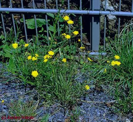 Wie Schnell Wächst Rasen Am Tag by Crepido Capillaris Festucetum Rubrae
