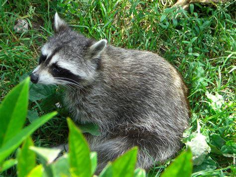grey raccoon  green grass field  image peakpx