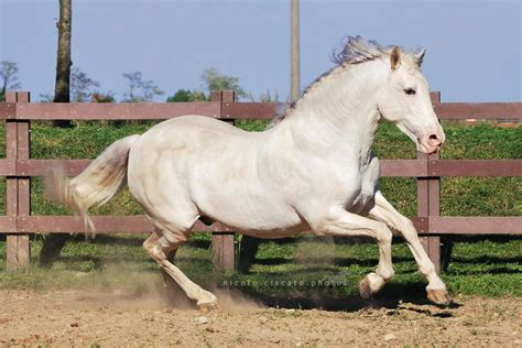 horse horses deviantart fandom breeds
